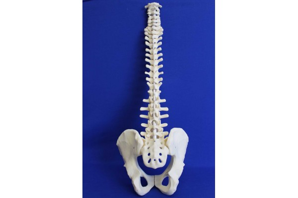 SPINE C1/SACRUM AND PELVIS SOLID FOAM
