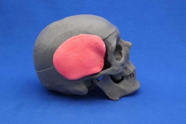 Crâne Solid Foam + Muscles