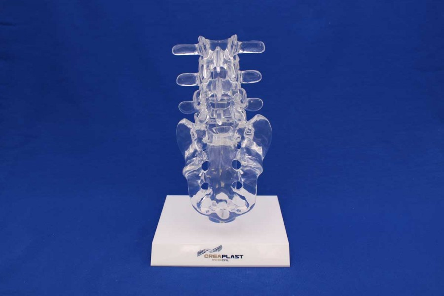 Clearbone L3/Sacrum with base