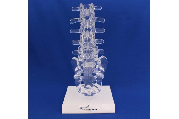 Clearbone lumbar L1/sacrum with base