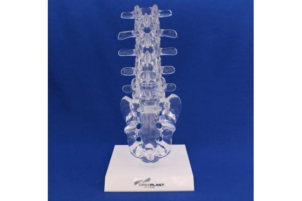 Clearbone L1/Sacrum avec base