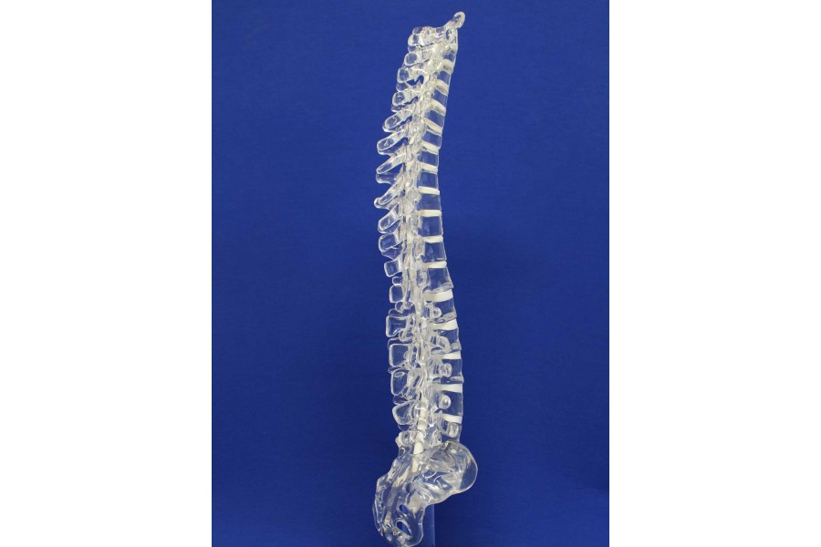 Clearbone T1/sacrum with base