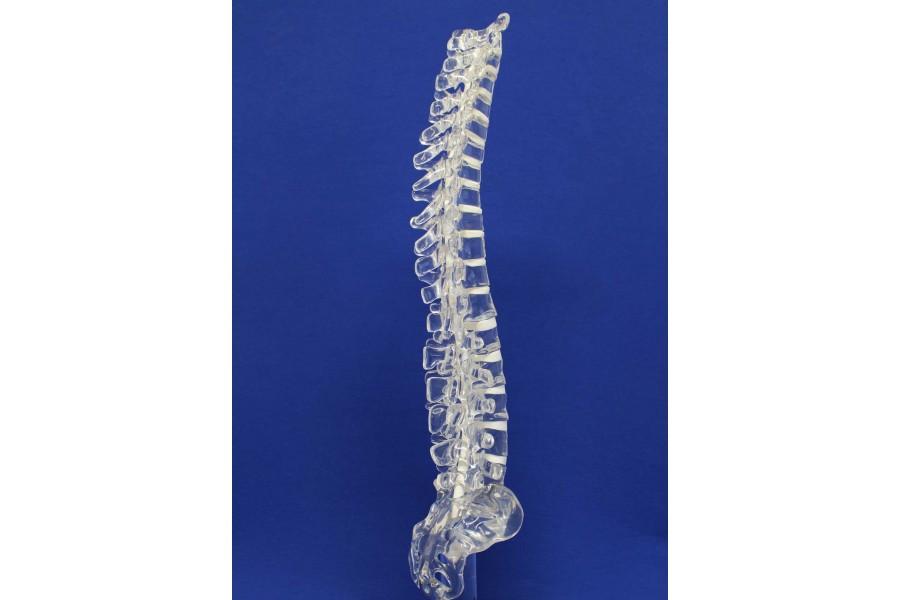 Clearbone T1/sacrum avec base
