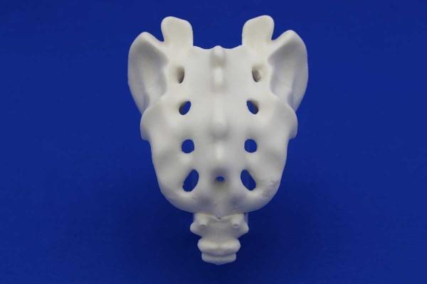 Sacrum avec Coccyx Solid Foam